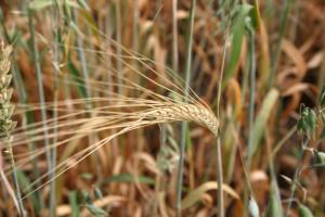 Long wheat sheaf