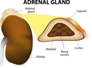 adrenalgland